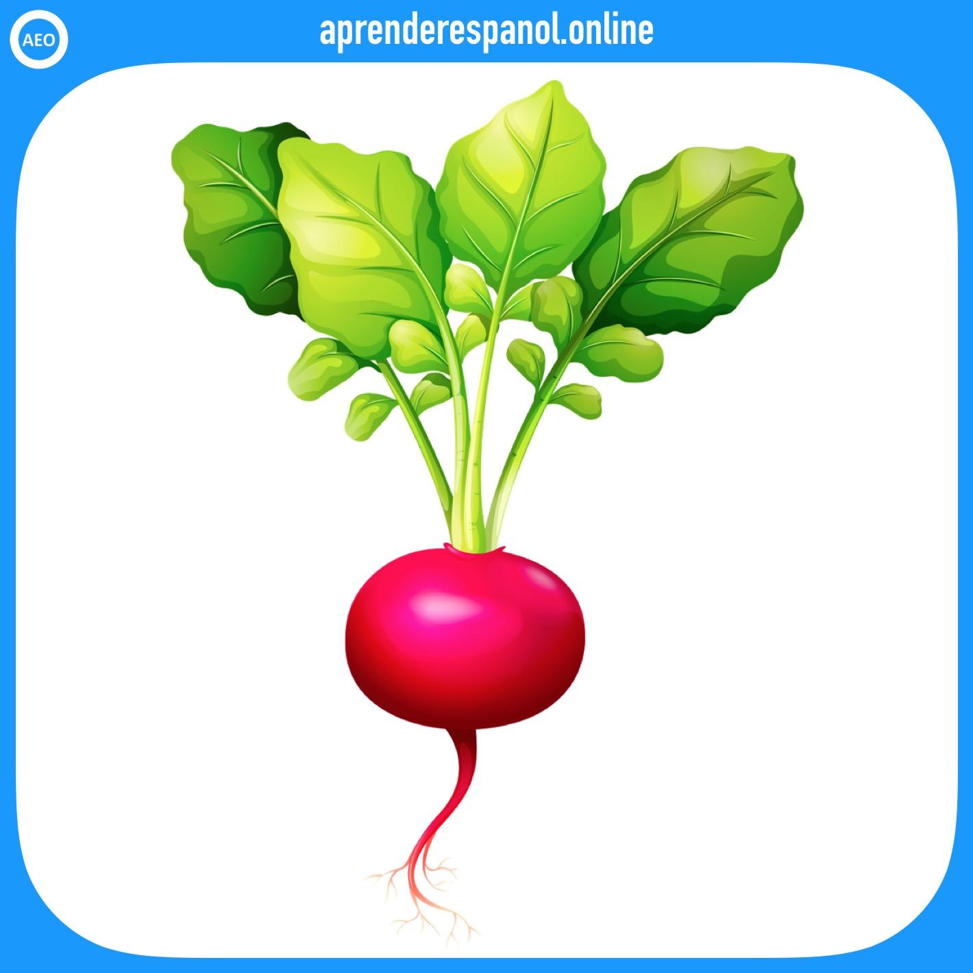 rábano | verduras en español | vocabulario de las verduras en español
